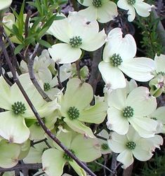 dogwood!  might have to have a pink one somewhere...Image property of Sooner Plant Farm