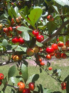 Mayhaw (Hawthorn) fruit is almost ripe and ready to harvest.  A look at a hawthorn guild.