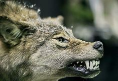 White Wolf The Last Wild Wolves In British Columbias Great Bear Rain