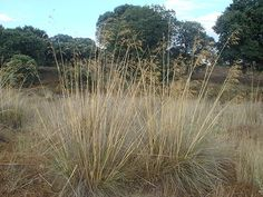 Stipa gigantea - Wikipedia, the free encyclopedia