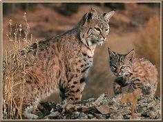 bobcats the animal | Best Animal Bobcat Wallpaper Best Blog WallpaperLikjen Create