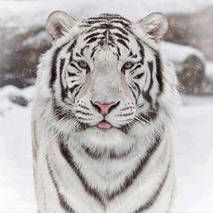 The beautiful white siberian tiger