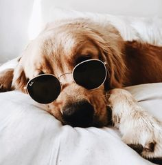 Cute golden retriever with better sunglasses than I Boxer Dogs, Pet Dogs, Pets, Doggies, Cute Dogs And Puppies, I Love Dogs, Yorkie Puppies, Pomeranian Puppy, Cute Baby Animals