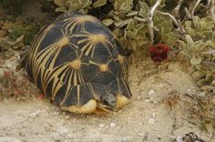 The radiated tortoise (Astrochelys radiata)