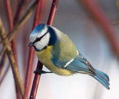 Kend dine fugle i haven - Havetips - Have - Isabellas