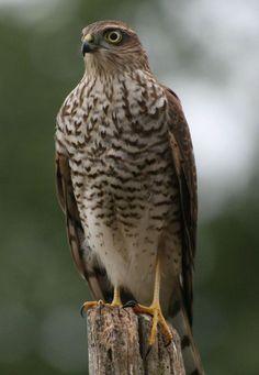 sparrow hawk bird of prey
