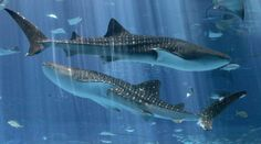 The whale shark is the largest living fish. The largest ever recorded was 41.5 ft. long and the heaviest ever recorded weighed nearly 40 tons. Despite their oversized mouths, the whale shark feeds mainly on plankton and small fish.