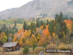 aspen trees fall colors with wood barn