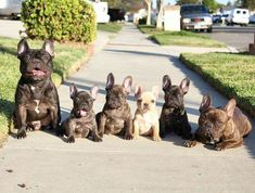 Frenchie family ❤❤ French Bulldog Puppies and Parents