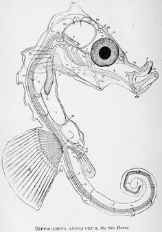 Hippocampus sp. internal structure - Despite their remarkable appearance, seahorses are true ray-finned bony fishes (class Actinopterygii, infraclass Teleostei), along with bass, mullets, eels, salmon, and lanternfish.