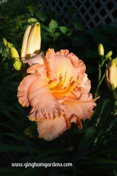 Inherited Wealth Daylily - Daylilies are easy perennials flowers to grow and maintain. Tips for Growing Daylilies, including Daylily Care and Maintenance Exotic Flowers, Pretty Flowers, Purple Flowers, Day Lilies Care, Reblooming Daylilies, Daylily Garden, Mulch Landscaping, Landscaping Ideas, Peonies Garden