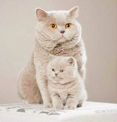 A beautiful mother cat and a cute little kitten taking a very nice looking picture.