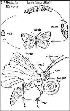 Butterfly anatomy   Butterflies   Pinterest   Anatomy, Butterfly and ...