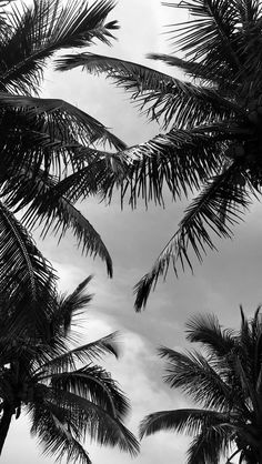 Palms tree black and white
