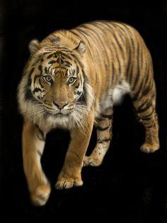 (via 500px / Sumatran Tiger by Hannah Daniels)
