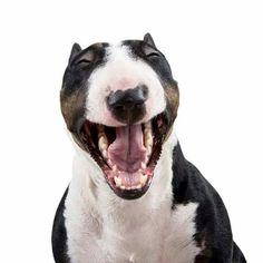 Hilarious #bullterriers