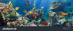 Coral And Fish In The Red Sea.Egypt Стоковые фотографии 155457902 : Shutterstock