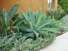 Love this combination of plants (agave, helichrysum petiolare, strelitzia) in this garden designed by Rebecca Sweet who does beautiful work. The rest of this garden is amazing, check it out!
