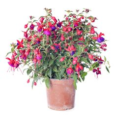 Growing fuchsias as houseplants isn't always successful because of the warm, dry indoor air. However, if you can provide the ideal growing conditions, you may be lucky enough to grow spectacular fuchsia indoor plants. This article will help.