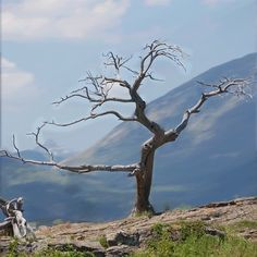 Stand strong in the winds of life. The Burmis tree, a 700 year old pine tree in the Crowsnest Pass, 200 km south of Calgary, Canada Dad Drawing, Socotra, Canada Eh, Trees To Plant, Natural Beauty, Beautiful Places, Scenery, Stand Strong, Seed Pods