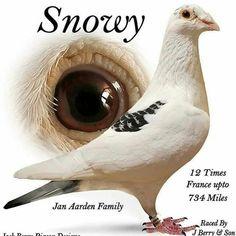 Pigeon Pictures, Homing Pigeons, Pigeon Breeds, Myla, Lofts, Horse Racing, Beautiful Birds, Pet Birds, Pakistan