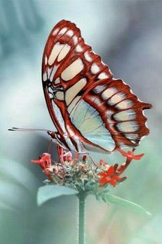 Red and white butterfly photo
