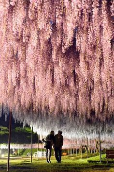 People walk under Japanese wisteria at the Byakugoji temple, Hyogo Prefecture, on the night of May 11. (Takuya Isayama)--- A spectacular display of wisteria is entrancing visitors to the Byakugoji temple in Tanba, Hyogo Prefecture, by day and night.