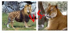 ligers and tigons | Tigon Vs Liger Perbedaan liger dan tigon