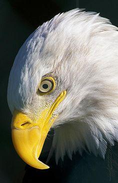 Bald Eagle - Graceful Patience - Photographer Sasse