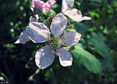 Flores de murras/moras silvestres.