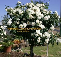 Roses The Ultimate Flower Transplanting Roses, Container Gardening, Gardening Tips, Fake Flowers, Rose Bouquet, Topiary, Beautiful Roses, Garden Beds, Flower Arrangements