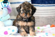 This Toy Poodle puppy is very social, friendly & playful! He has a nice temperament and is raised with children. This cutie will make a fabulous Toy Puppies For Sale, Cute Baby Puppies, Poodle Puppies For Sale, Cute Babies, Poodle Grooming, Dog Grooming Business, Yorkie Dogs, Animal Photography, Prince