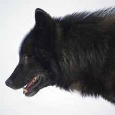 WTF: Protect Alaska's Rarest Wolves. http://action.biologicaldiversity.org/o/2167/p/dia/action3/common/public/?action_KEY=14571  #SeaShepherd #defendconserveprotect