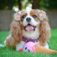 """I scream, you scream, we all scream for icecream 😆🍦 - 🎀 Bows: @snapindogbows  Use code """" LILAANDTHETRAMP """" for $$ off - - #lilaandthetramp #dog #dogs #puppy #puppies #cavalier #cavalierkingcharles #cavalierkingcharlesspaniel #ckcs #blenheim #topdogphoto #beautiful #cute #adorable #weeklyfluff #pawstruckcritters #excellent_dogs  #cavlife  #instadog #ilovemydog  #HoundsBazaar #dog_features #igclubdogs #showcasing_pets  #excellent_dogs #delight_pets #bestpaw #like4like #likeforlike #icecream"""