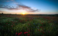 Англия, поле, Великобритания, цветы, маки, ромашки, Хартфордшир, небо, солнце…