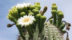 Carnegiea gigantea (Image: Craig Hilton-Taylor) Cactus Terrarium, Cactus Plants, Cacti, Biointensive Gardening, Tall Shrubs, Cactus Seeds, Natural Building, Desert Plants, Exotic Plants
