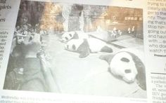 Triplet pandas 100years old awesome