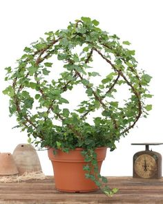 Atherton Tuscany Topiary - 12 Fresh Large Ivy Spiral Globe Rustic Antique Topiary Frame Home and Garden Garden Estate Deisgn Hearst Filoli Topiary Plants, Topiary Garden, Indoor Garden, Garden Pots, Indoor Plants, Potted Plants, Container Gardening, Urban Gardening, Plant Decor