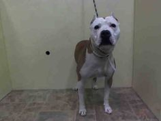 TO BE DESTROYED 09/17/14  Manhattan Center   TAGALONG - A1013676   MALE, TAN / WHITE, PIT BULL MIX, 3 yrs STRAY - STRAY WAIT, NO HOLD Reason STRAY  Intake condition UNSPECIFIE Intake Date 09/10/2014, From NY 10471, DueOut Date 09/13/2014,
