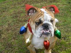 English Bulldog Christmas | English Bulldogs, British Bulldog dogs ...