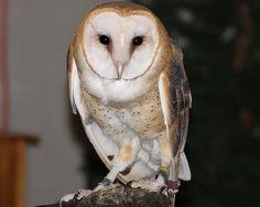 north american barn owl