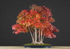 Acer palmatum (Tunb.), Hotsumi Terakawa & Luis Vallejo 1989