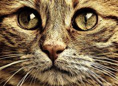 Kostenloses Bild auf Pixabay - Katze, Kater, Sepia, Niedlich