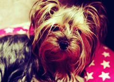 Maybe go for a walking? Aska the #yorkie #yorkeezz #yorkies #yorkshireterrier #miniyorkie #yorkieofinstagram #dogs #pets #dogsoninstagram #petstagram #cute #beauty #funny #funnydogs #instadogs #instapet #instayorkie #йорки #йоркикручевсех #йоркширскийтерьер #собаки #псы