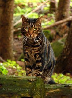 Forest Cat by ~FreyaJC cute cat and kittens Pretty Cats, Beautiful Cats, Animals Beautiful, Cute Animals, Pretty Kitty, Beautiful Pictures, Cute Cats And Kittens, Cool Cats, Kittens Cutest