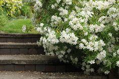 L'oranger du mexique : l'arbuste aux petites fleurs blanches