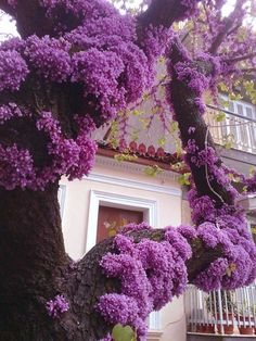 Redbud tree  - The one in our yard used to bloom on the trunk like this one. Hopefully it will recover and do it again.