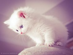 white ragdoll kitten by venomxbaby.deviantart.com on @deviantART