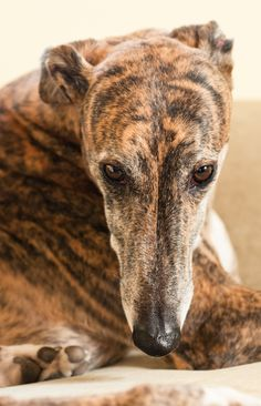 This looks like Lady, our brindle Greyhound, she shared our house for 15 years.  Miss her.