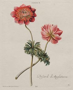 Anemone - Bisard d'Angleterre from Christopher Jacob Trew, 'Hortus Nitidissimis.' Published (1750–86). After Georg Dionysus Ehret ( 1708–1770). Image and text courtesy MFA Boston.